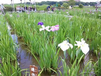2010.6.6_菖蒲祭り.jpg
