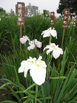 小岩菖蒲園祭り09.6.27-1.jpg