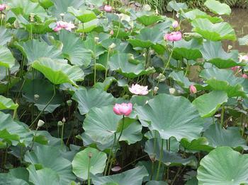 蓮の池.jpg