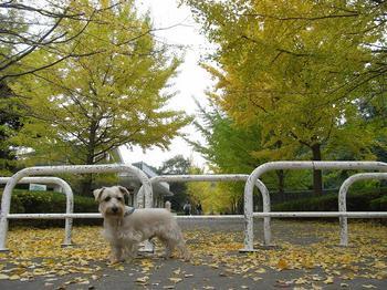 銀杏並木20101114.jpg